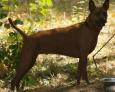 szczeniaki tajskiego ridgebacka