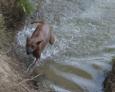 Tajski ridgeback i woda