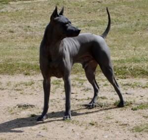 feng thai ridgeback dog
